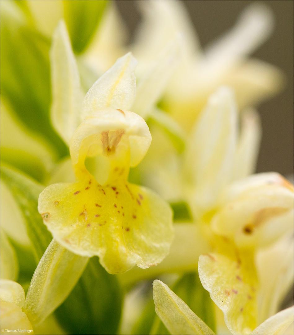 Holunder - Knabenkraut (Dactylorhiza sambucina)......