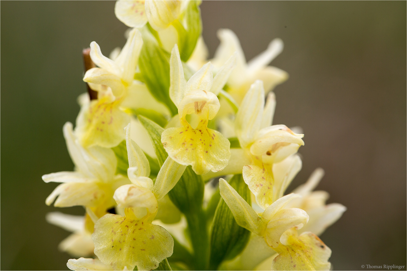 Holunder - Knabenkraut (Dactylorhiza sambucina).....