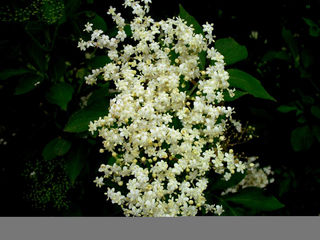 Holunder... schöne Blüten, toller Duft und super lecker...na denn Prost