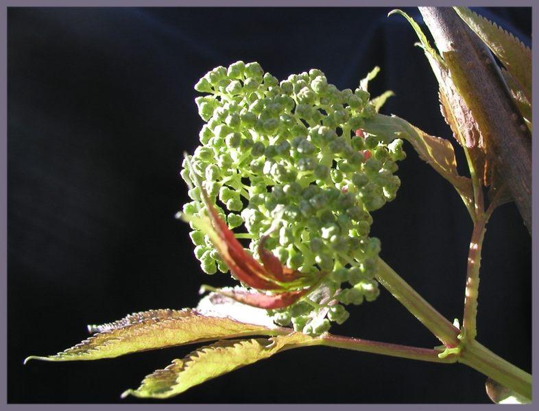Holunderblütenknospen
