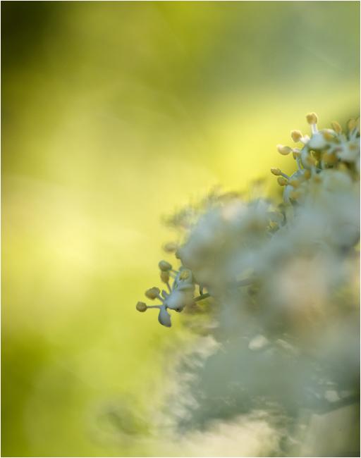 Holunderblütentanz