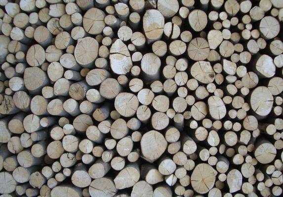 Holz im Querschnitt