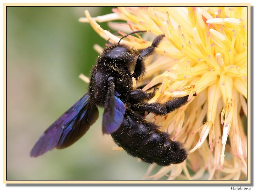 Holzbiene (Xylocopa violacea)