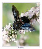 Holzbiene - Xylocopa violacea