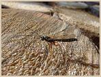 Holzschlupfwespe (Rhyssa persuasoria