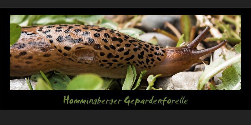 Hommingberger Gepardenforelle beim Landgang