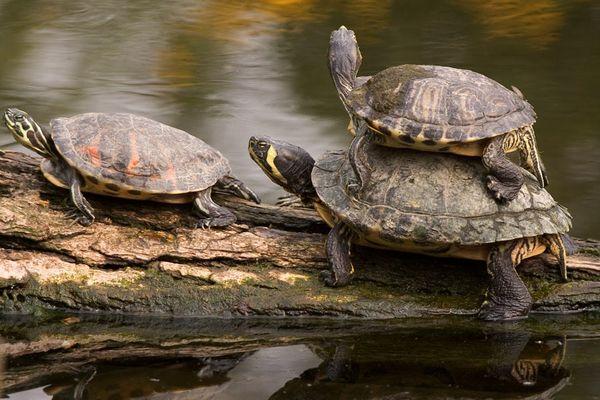 Hommingberger Stapelkröte