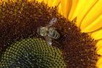 Honey seeker - original