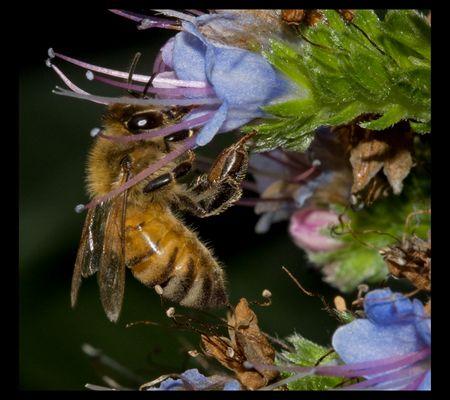 Honeybee at work...