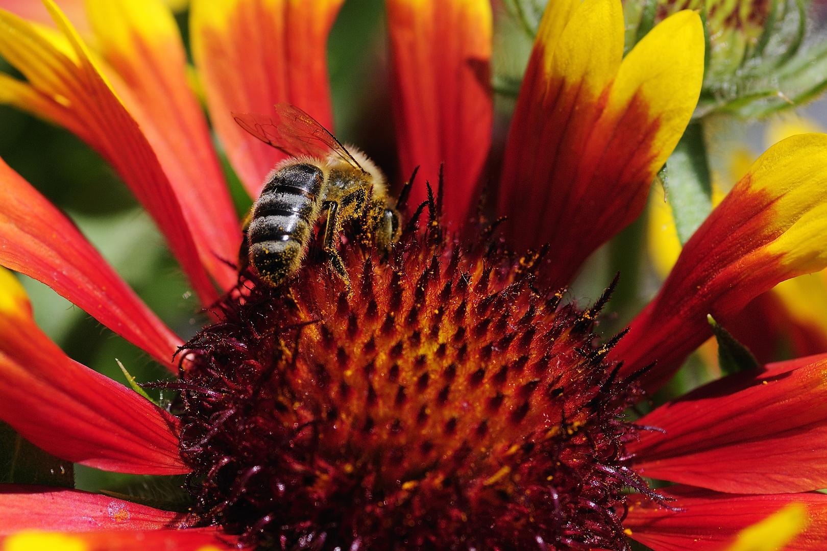 honeybee at work