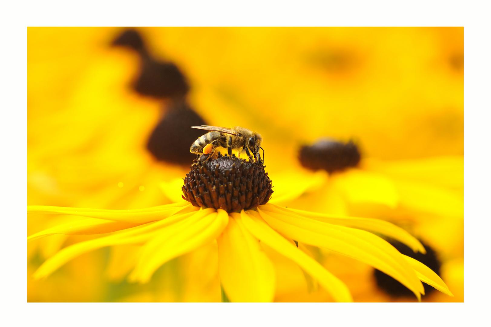 Honigbiene 2 bei der Arbeit