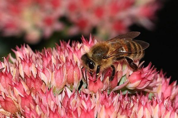 Honigbiene....