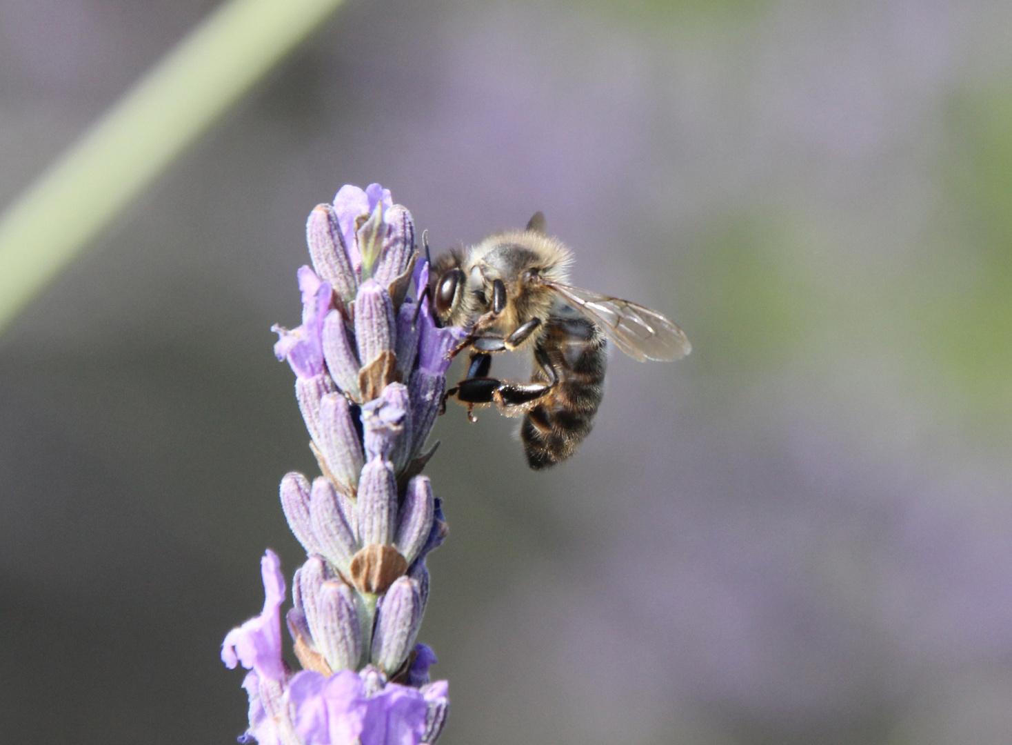 Honigbiene an einer Lavendelblüte