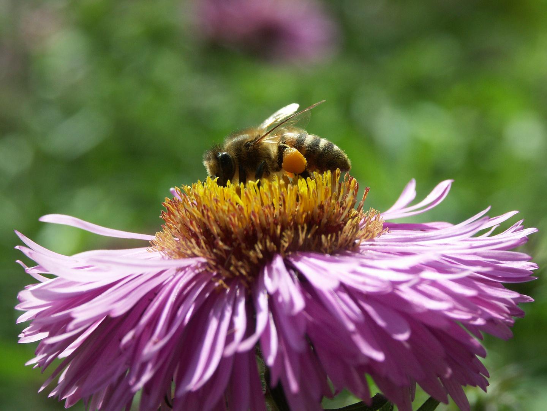 Honigbiene auf einer Herbstaster