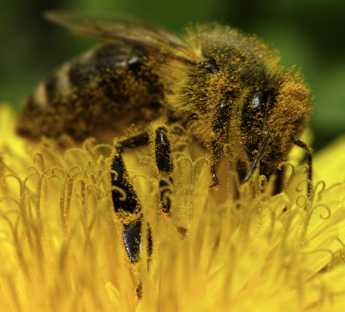 Honigbiene auf Löwenzahn 1