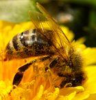 Honigbiene auf Löwenzahn 3