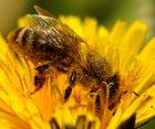 Honigbiene auf Löwenzahn 4