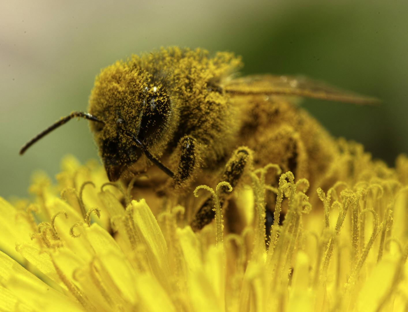 Honigbiene auf Löwenzahn 5