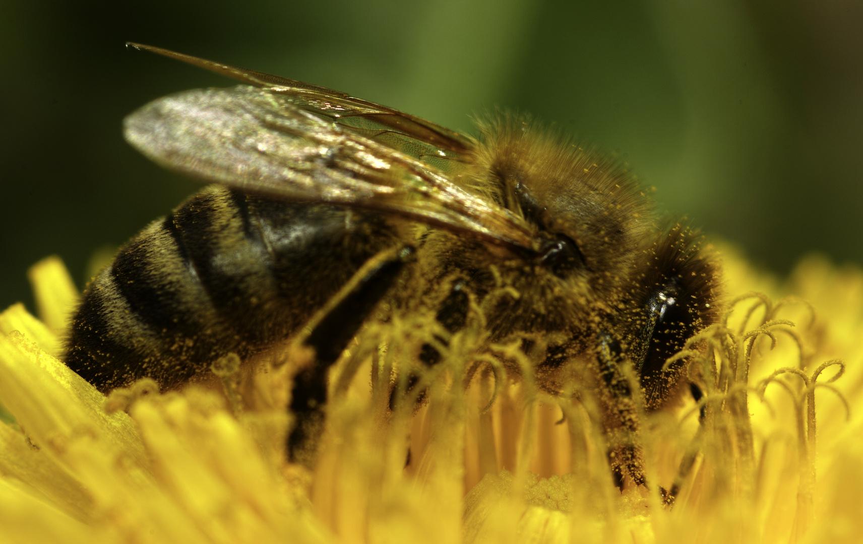 Honigbiene auf Löwenzahn 6