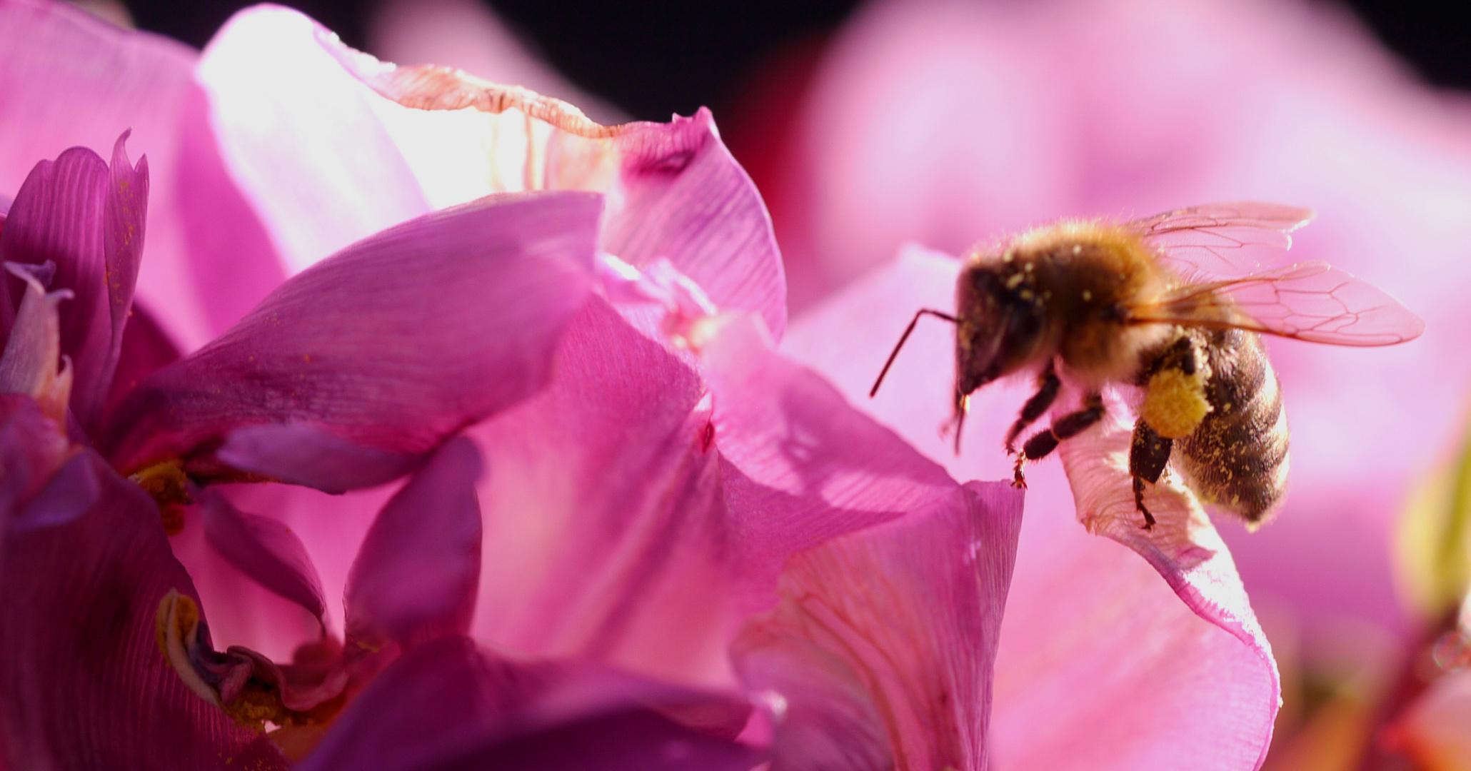 Honigbiene im Anflug auf eine Tulpenblüte