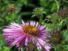 Honigbiene im Landeanflug