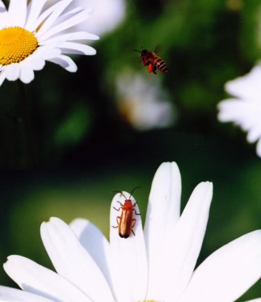 Honigbiene und Brauner Weichkäfer