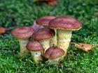 Honigfarbener Hallimasch mit ungewöhnlichen Farben