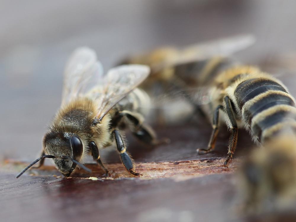 Honigschlecker