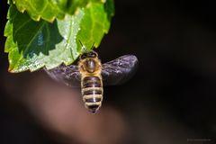 Honigspender, natürlich