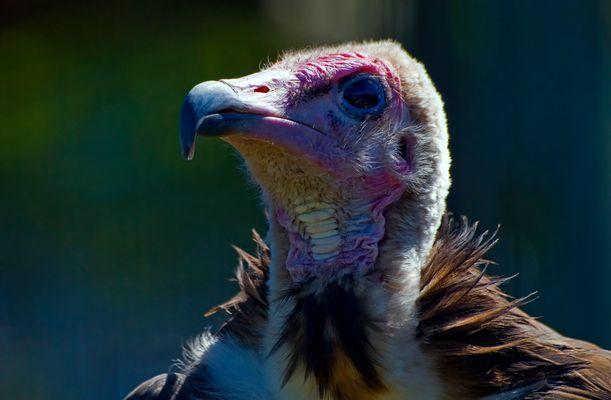 Hooded Vulture. Geier, Suedafrika