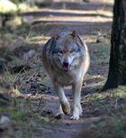 Hopp, hopp...Grauwolf im Galopp:-)