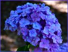 Horensie in voller Blüte