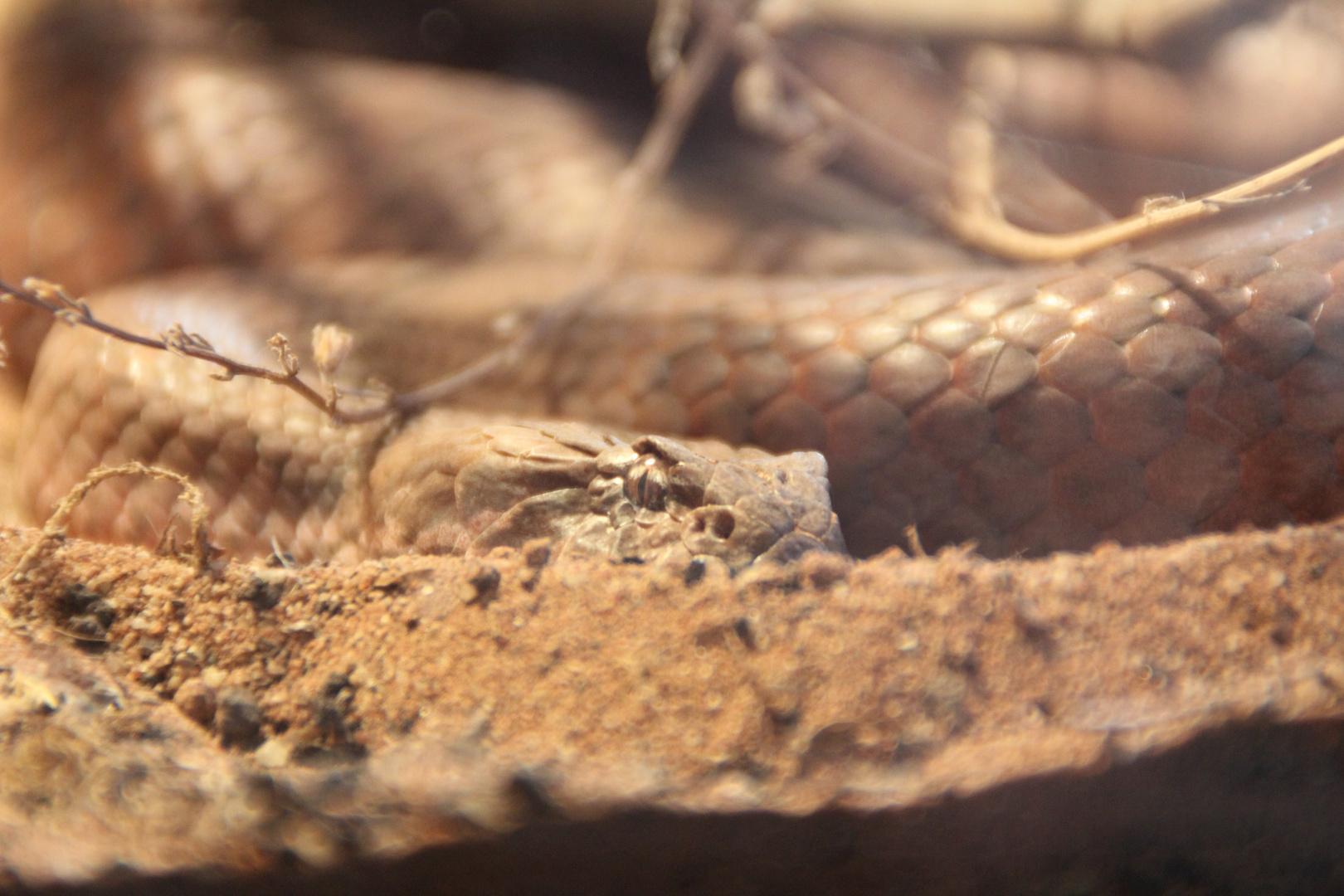 Horn-Viper