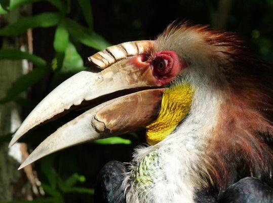 Hornbill in Kota Kinabalu, Sabah, Borneo, Malaysia