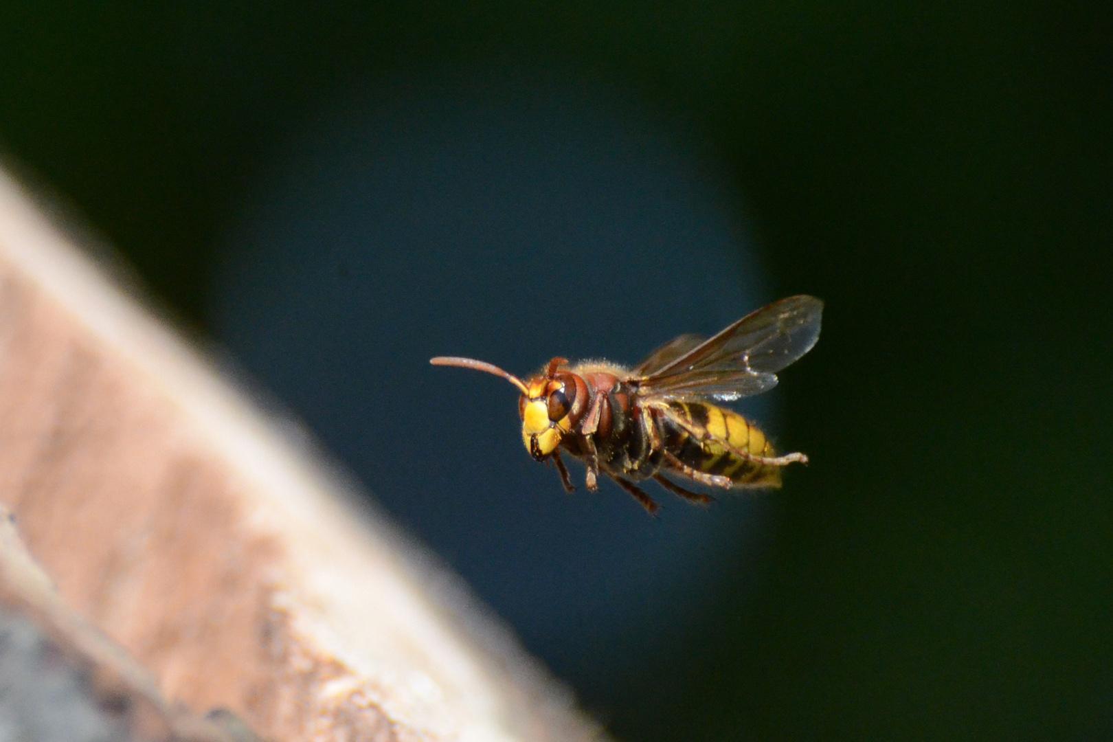 Hornet - Air