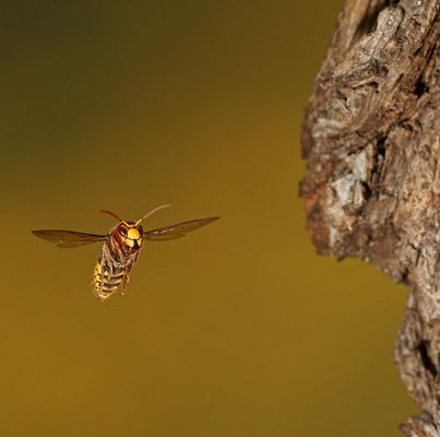 Hornet (Vespa crabo) 3
