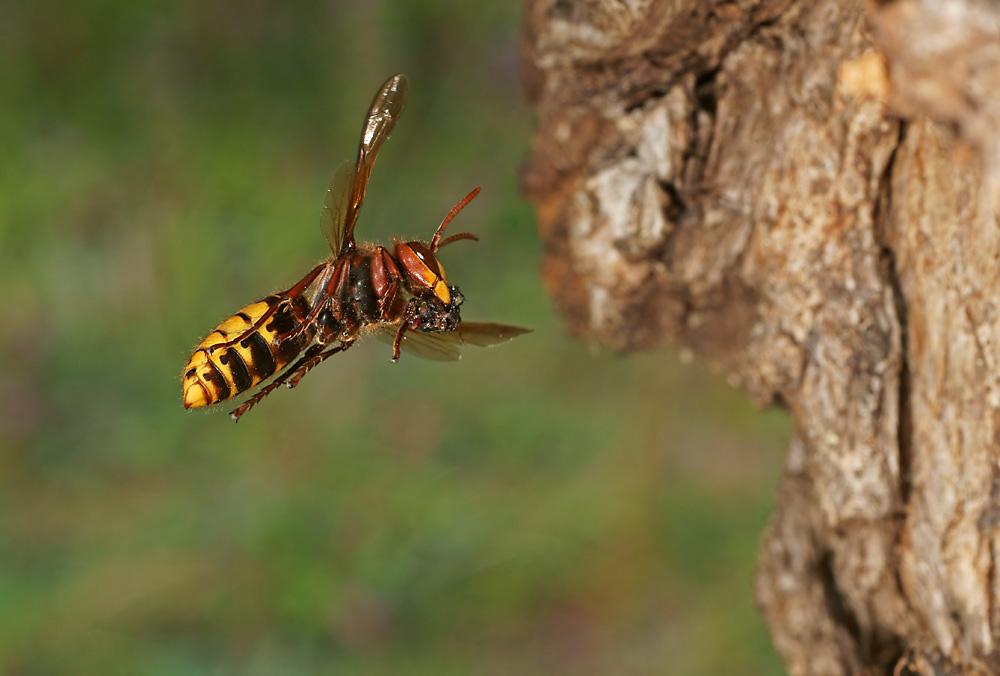 Hornet (Vespa crabo) 4