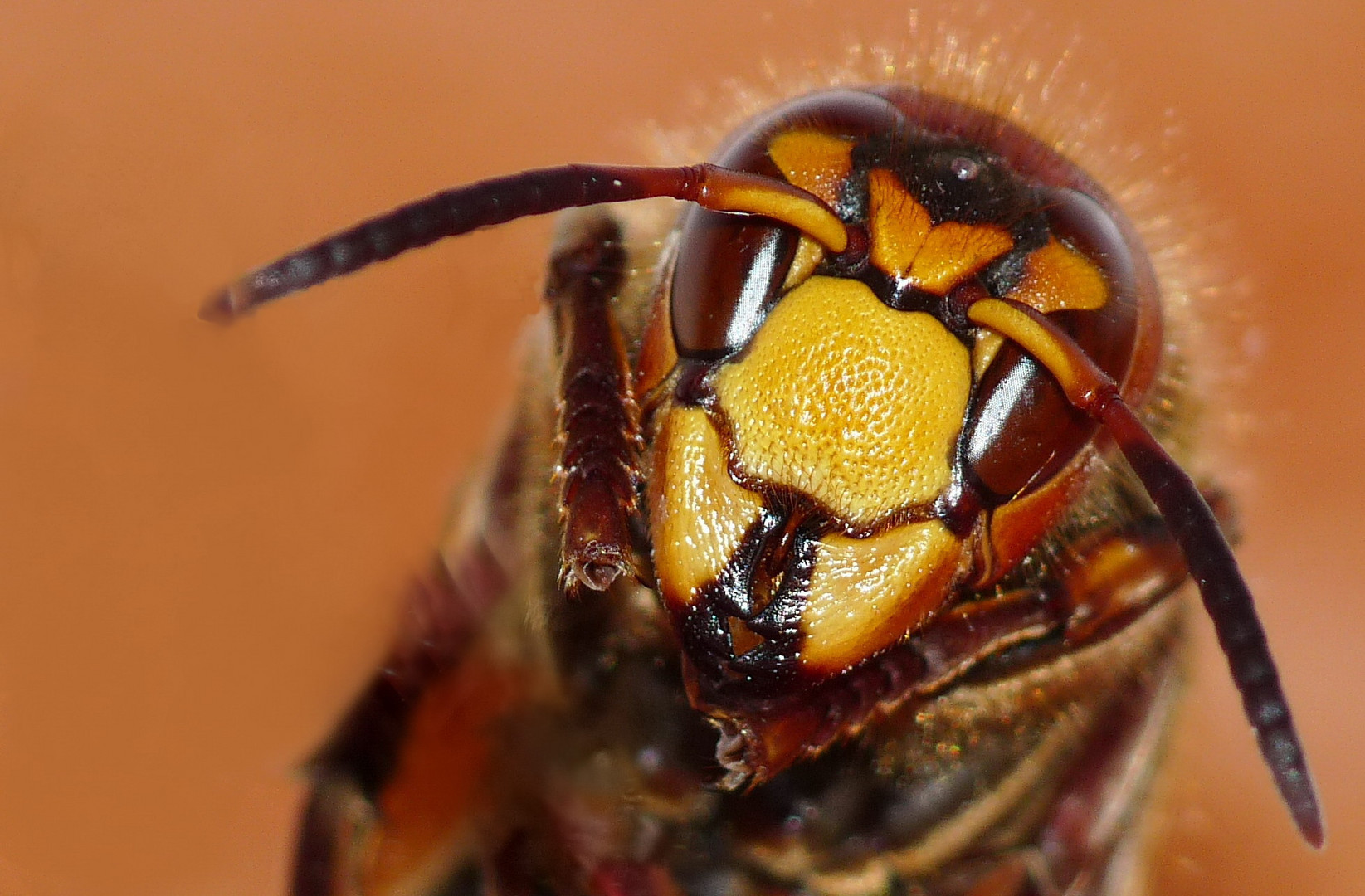 Hornet's face