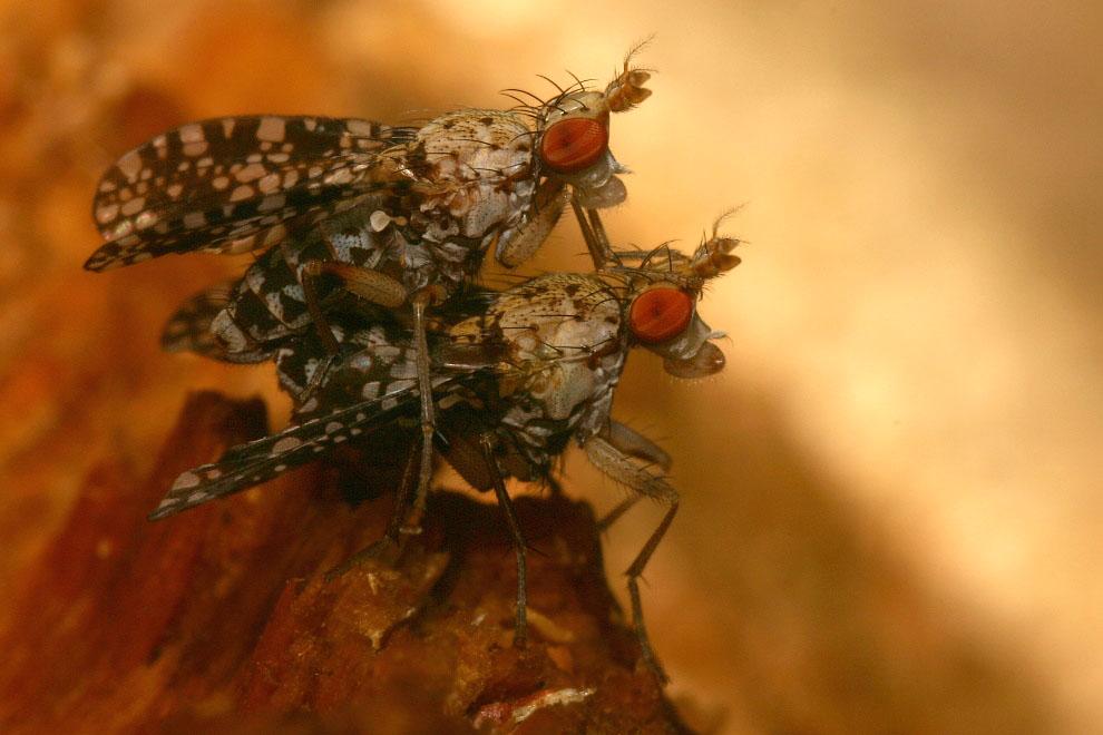 Hornfliegen