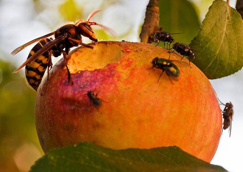 hornisse am apfel foto bild tiere wildlife insekten bilder auf fotocommunity. Black Bedroom Furniture Sets. Home Design Ideas