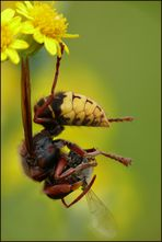 Hornisse beim Bienenfang
