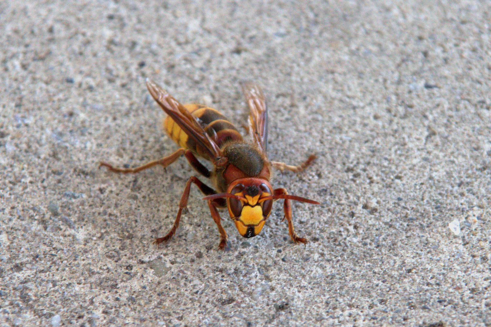 Hornisse (European hornet)