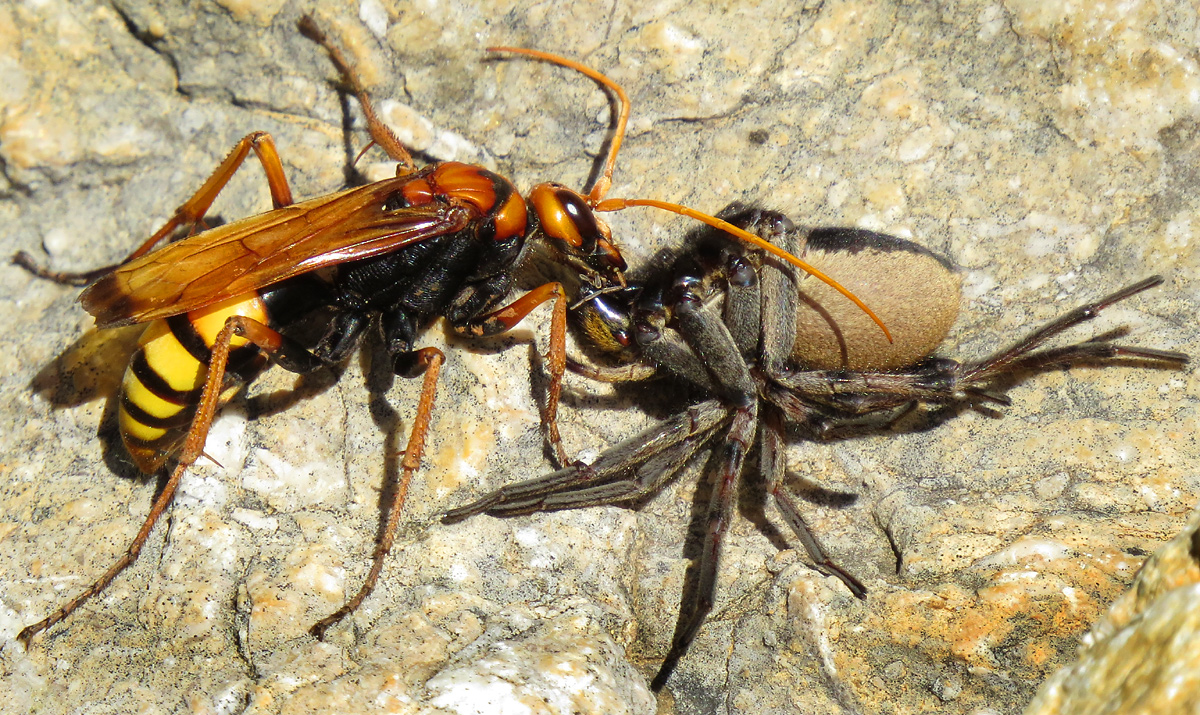 Hornisse gegen Spinne