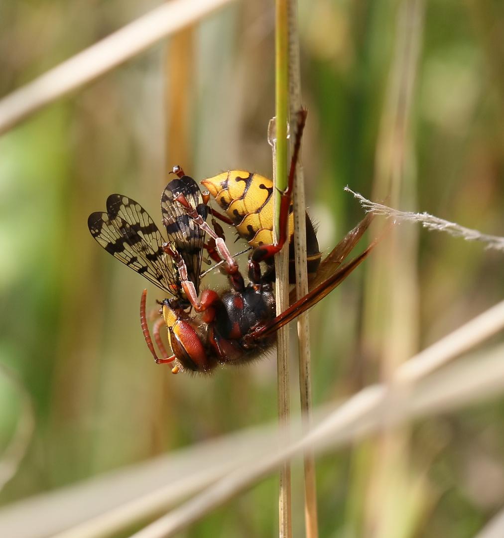 Hornisse mit Skorpionsfliege