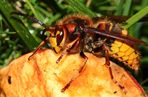 Hornisse (Vespa crabro) - II -