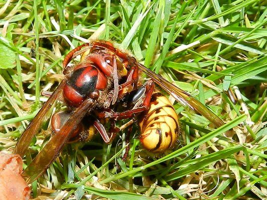 Hornissen auf Leben und Tot
