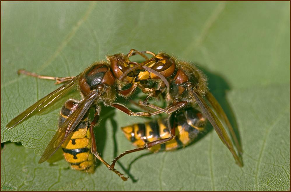 hornissen im kampf foto bild tiere wildlife insekten bilder auf fotocommunity. Black Bedroom Furniture Sets. Home Design Ideas