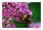 Hornissenkönigin vor meiner Linse... Biene in den Fängen