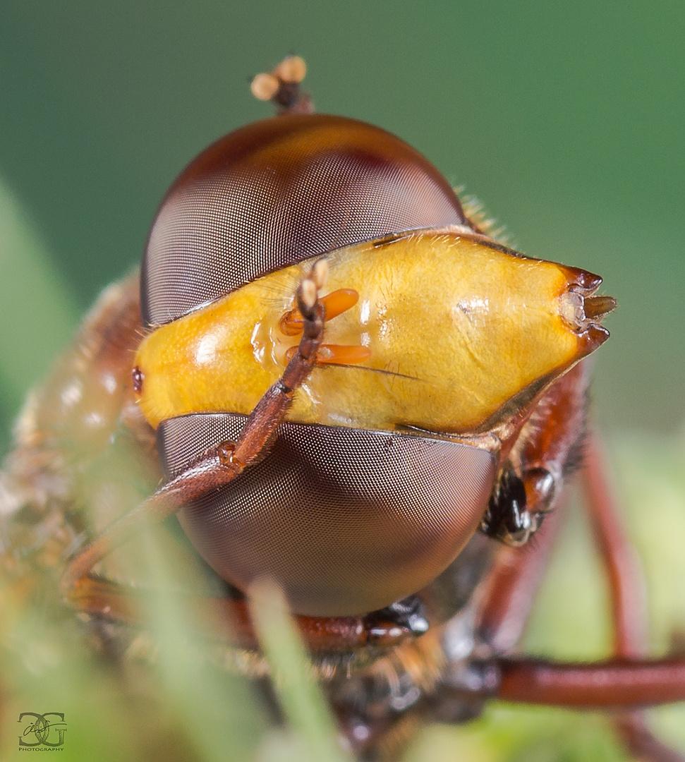 Hornissenschwebfliege beim putzen