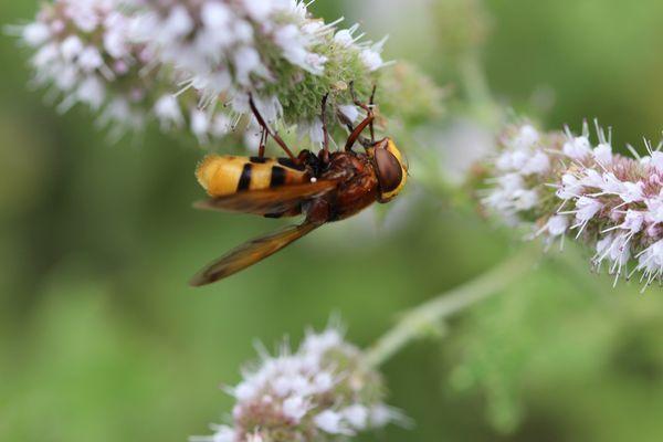 Hornissenschwebfliege :-)